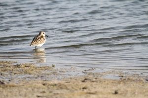 Migrating Little Stint