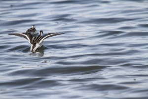 Migrating Red-necked Phalarope in flight
