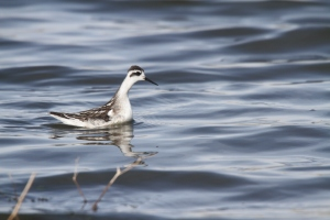 Phalarope in non-breeding plumage