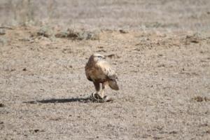 Semi-desert birds Kazazkhstan