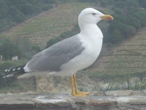 Gull Mediterranean