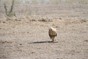 Long-legged Buzzard with Snake 1