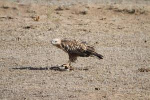 Long-legged Buzzard with Snake 2