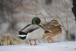 Winter Ducks in Almaty Kazakhstan