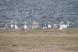141002 Great White Pelicans (2)