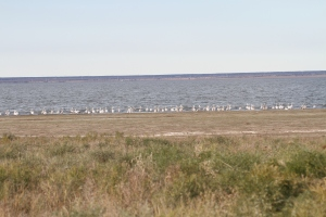 141002 Great White Pelicans (3)