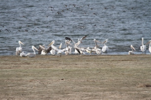 141002 Great White Pelicans