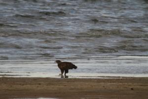141002 Steppe Eagle (2)