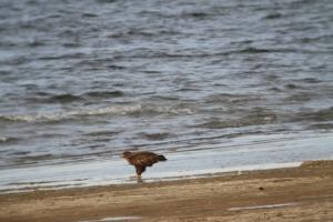 141002 Steppe Eagle