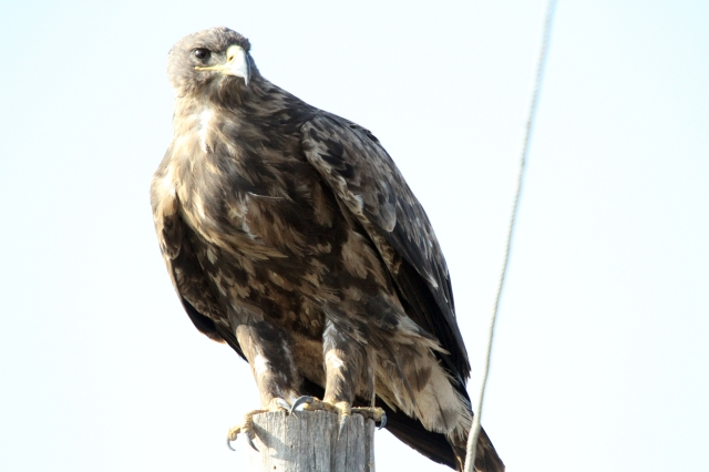Steppe Eagle wondering what I am doing