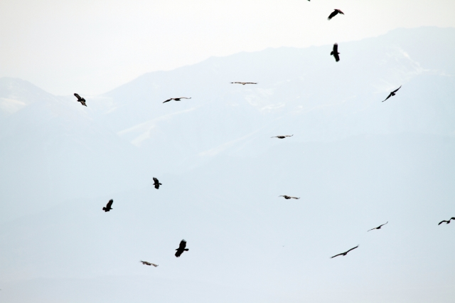 Part of about 50 soaring circling Steppe Eagles