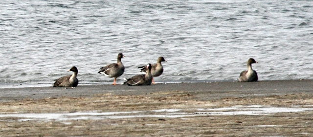 Tundra Bean Geese with one lonely Great White-fronted Goose