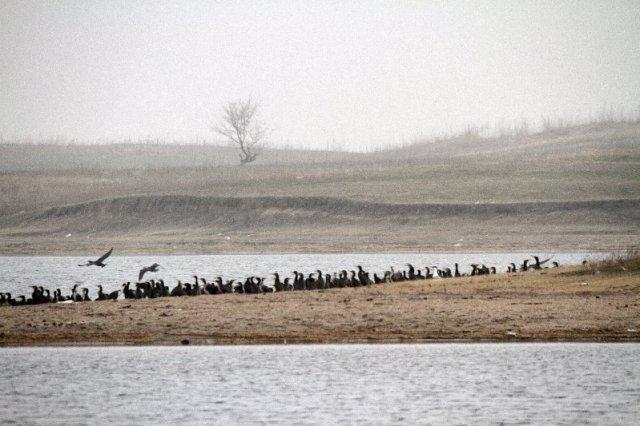 Great Cormorants in Kazakhstan