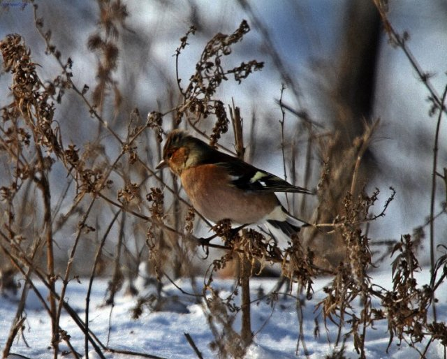 Chaffinch in Kazakhstan Dec 2014