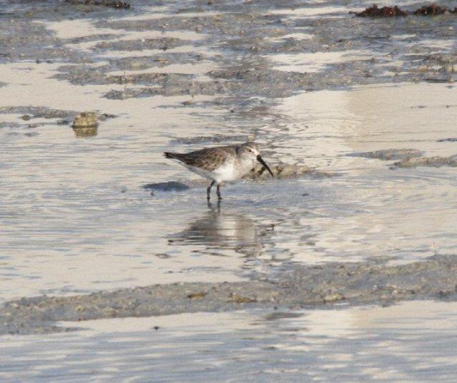 Curlew Sandpiper near Abu Dhabi Nov 2014