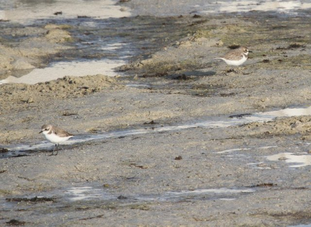 Greater & Lesser Sand Plover near Abu Dhabi Nov 2014
