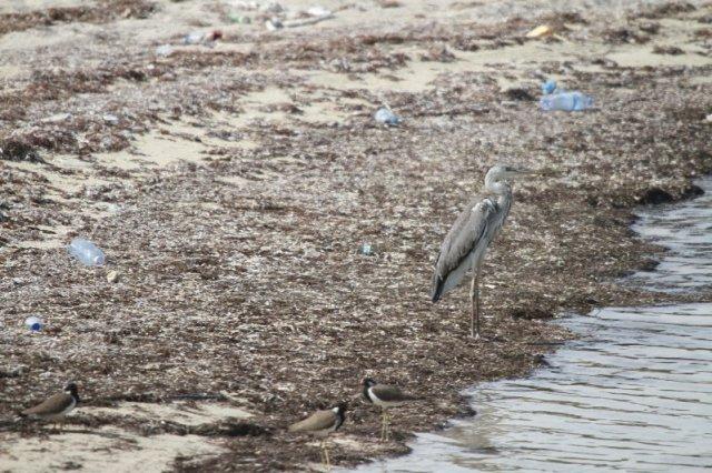 Grey Heron amongst the sea garbage