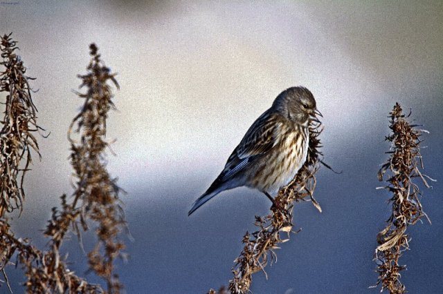 Twite in Kazakhstan Dec 2014