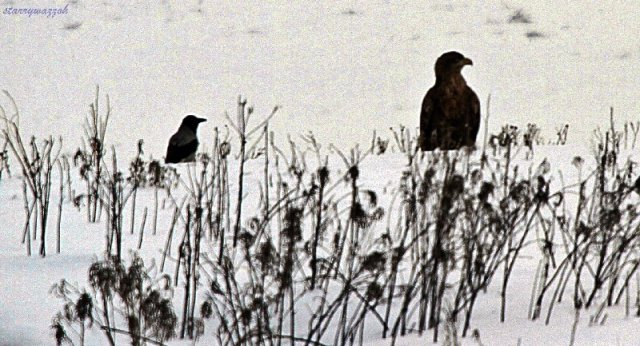 White-tailed Eagle being harassed by Hooded Crow nr Almaty Kazakhstan Dec 2014