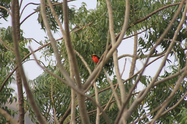 Yellow-crowned Gonolek, Burkina Faso, Jan 2015