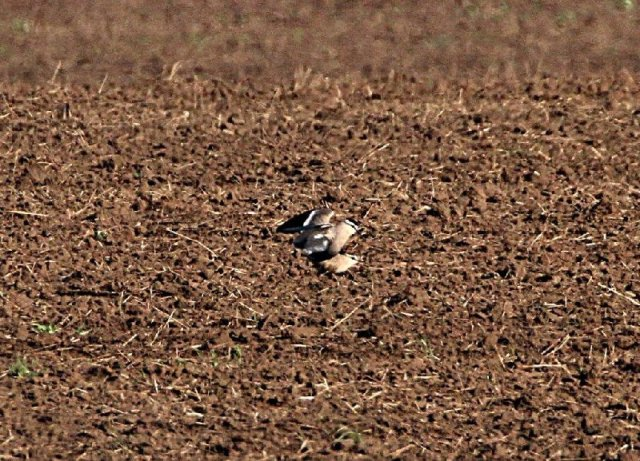 Sociable plovers being very sociable