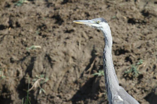 Grey Heron Kazakhstan 150815