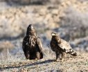Pals at Creche - White-tailed Eagle and Steppe Eagle
