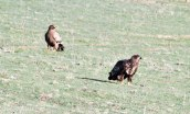 Steppe Eagle & Juvenile White-tailed Eagle_