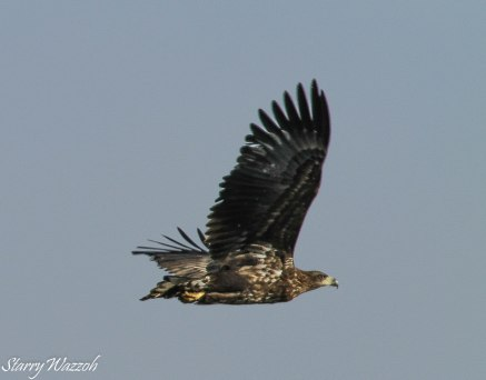 White-tailed Eagle Juvenile In Flight
