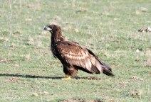 White-tailed Eagle Juvenile In Profile