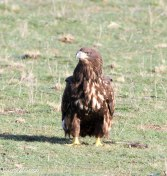 White-tailed Eagle Juvenile
