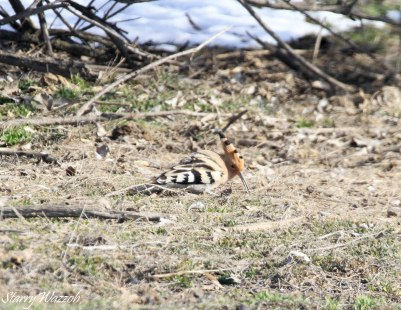 Hoopoe Early Migration Kazakhstan 160223