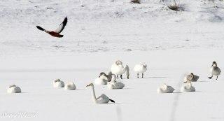 Ruddy Shelduck Taking Off From Frozen Lake Over Whooper Swans Kazkahstan Feb 2016