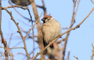 Tree Sparrow Kazakhstan 160223