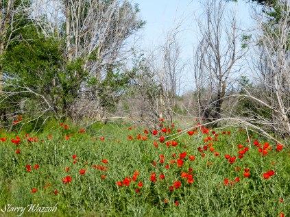 Poppies 1 Kazakhstan May 2016