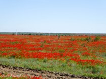 Poppies 2 Kazakhstan May 2016