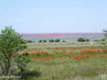 Poppies over the Steppes Kazakhstan May 2016