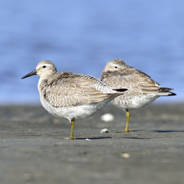 Engagement_Email_Red_Knot_sandpiper_Adobe_Stock