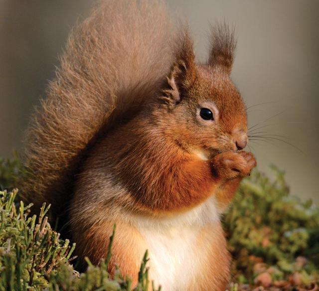 red-squirrel-CCEF9N