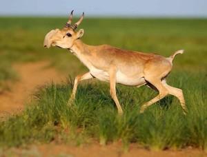 saiga-antelope-images-300x228